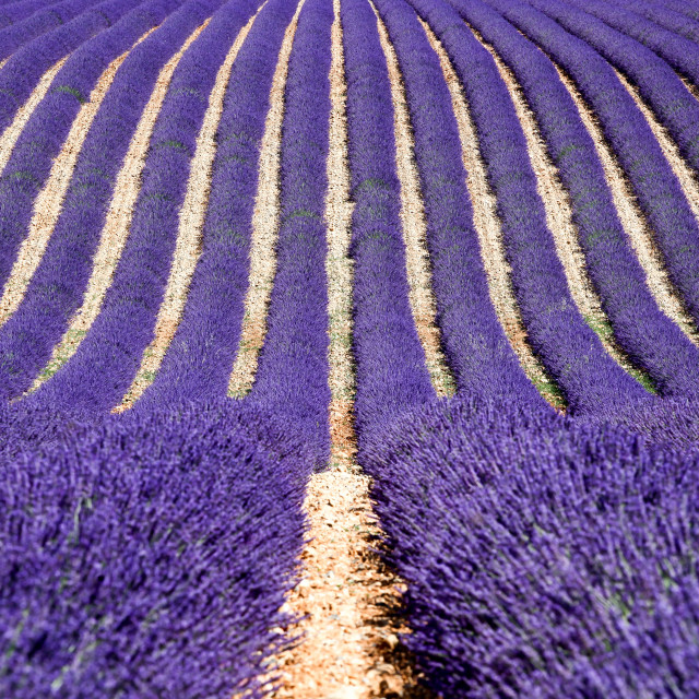 """""""Lavender field in Valensole, France"""" stock image"""