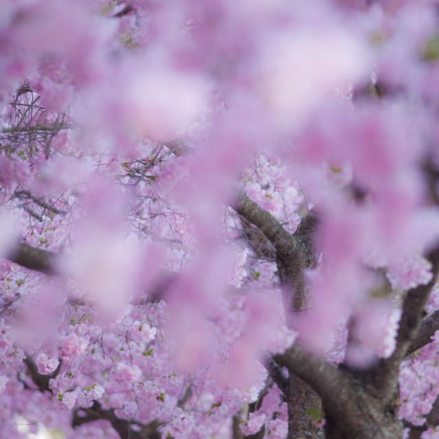 """Cherry blossom"" stock image"