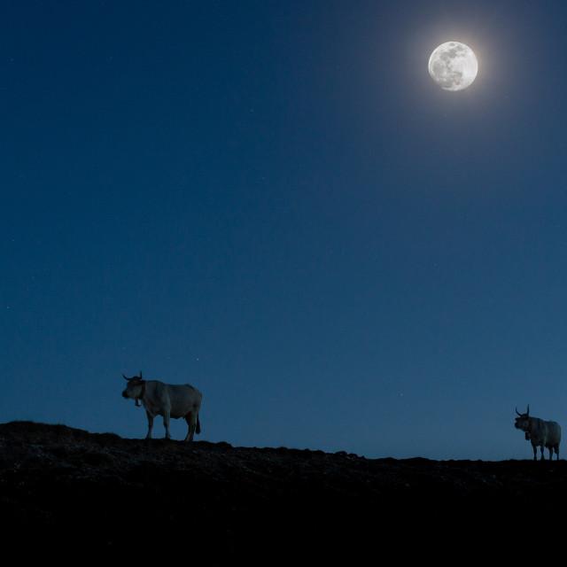 """""""Mucche al pascolo alla luce della luna su un crinale nei pessi di Campo Imperatore (Abruzzo)"""" stock image"""