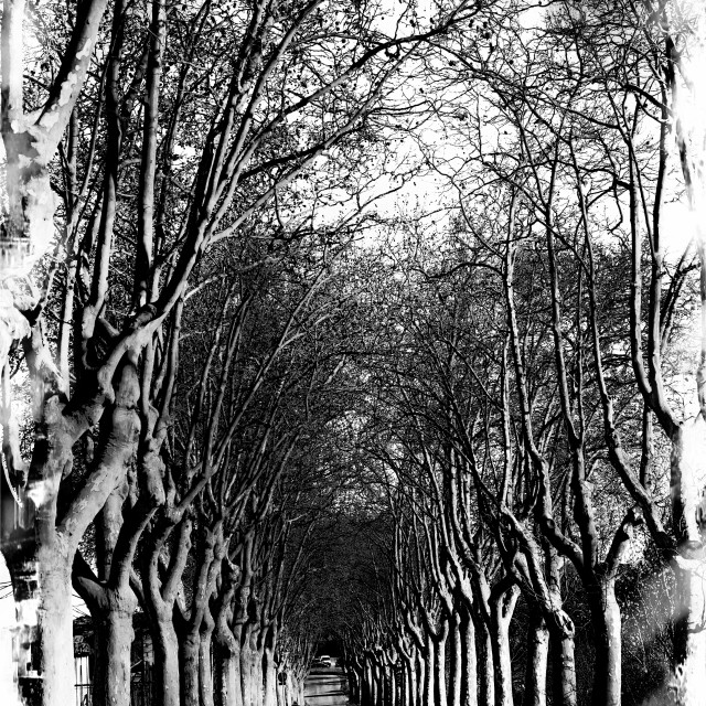 """""""Sycamore outside Paris"""" stock image"""