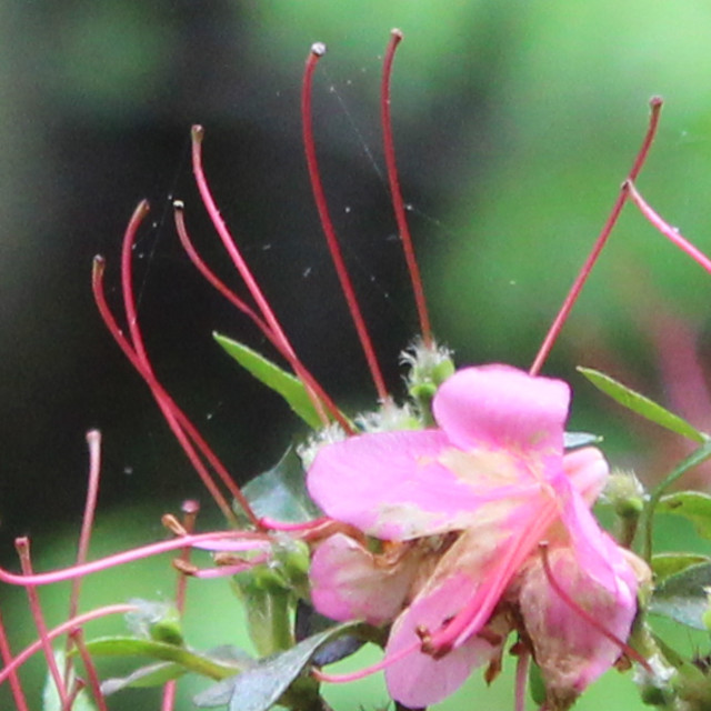 """pink azalea bloom filament and anther"" stock image"