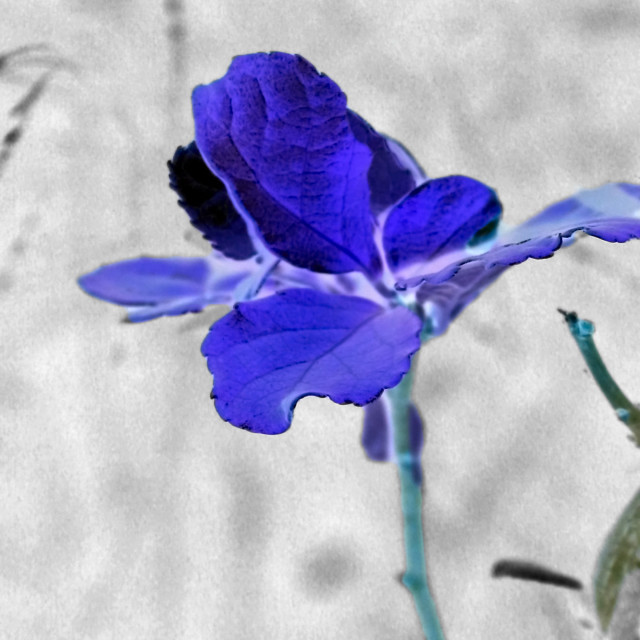"""blue flower abstract"" stock image"