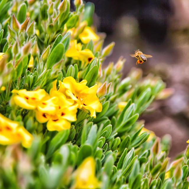 """Beautiful Norfolk Honey Bee"" stock image"