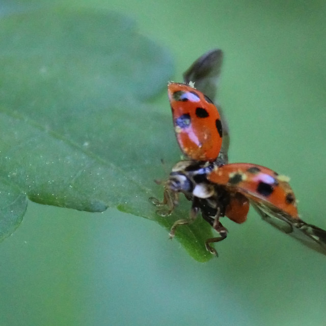 """ladybug takes flight"" stock image"