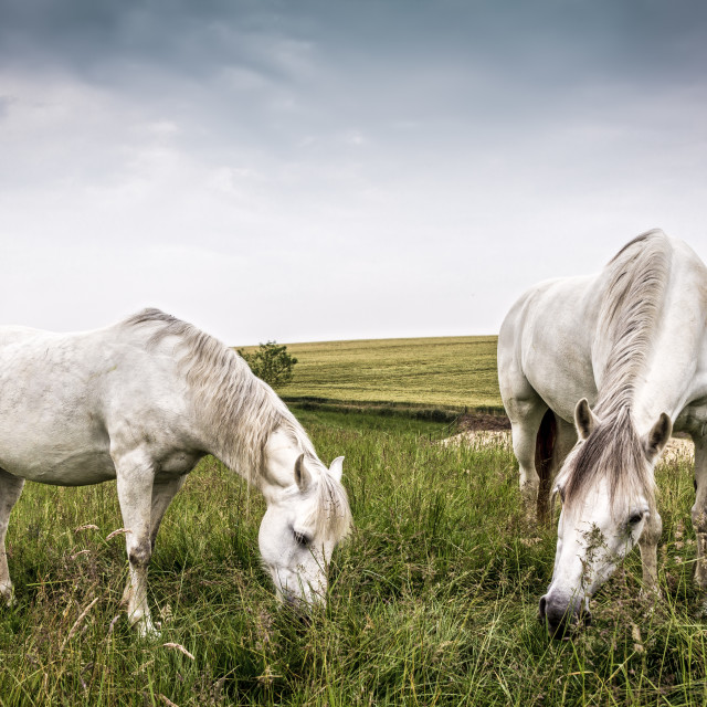 """Horses grazing in a country of northern Europe"" stock image"