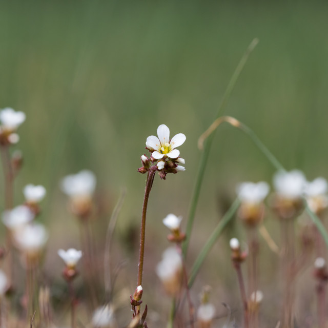 """Saxifrage flower closeup in a meadow"" stock image"