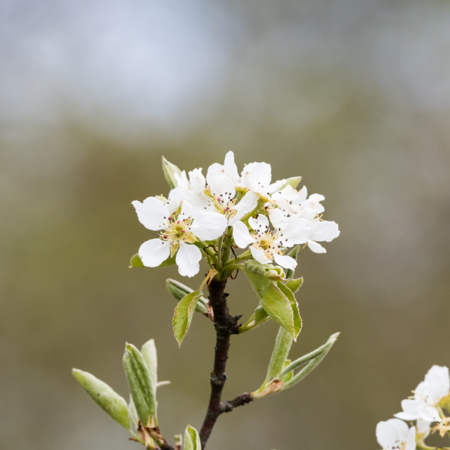 """White wildapple tree blossom close up"" stock image"