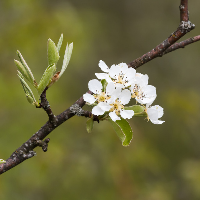 """Wildapple blossom close up"" stock image"
