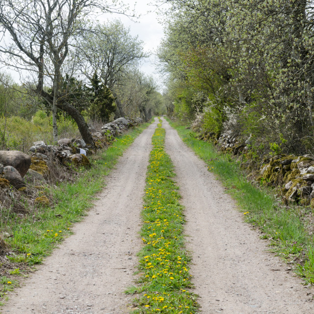 """Gravel road with blossom dandelions at the swedish countryside"" stock image"