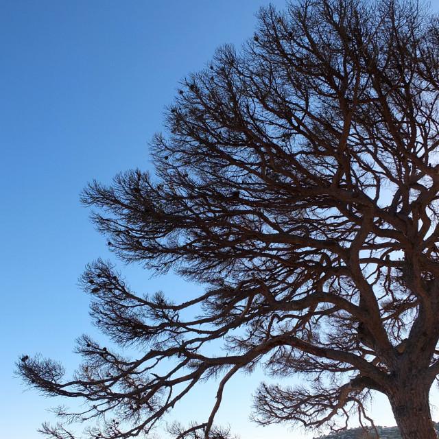"""Dead Tree Silhouette Of Calella"" stock image"