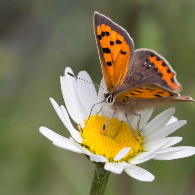 """""""A Copper Butterfly"""" stock image"""