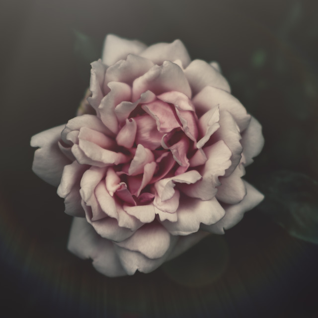 """Rose Bloom"" stock image"