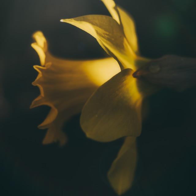 """Daffodil and Raindrop"" stock image"
