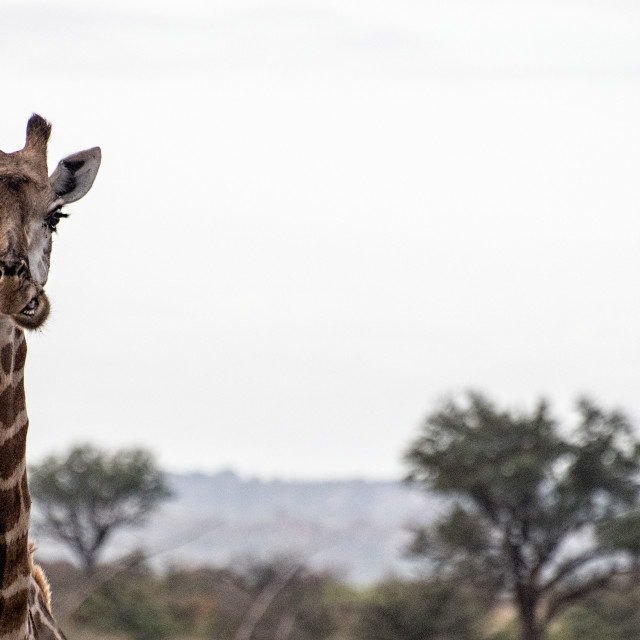 """Masticating Giraffe"" stock image"