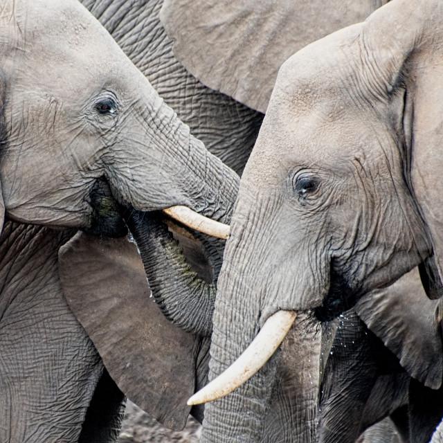 """""""Elephants, Tuli"""" stock image"""