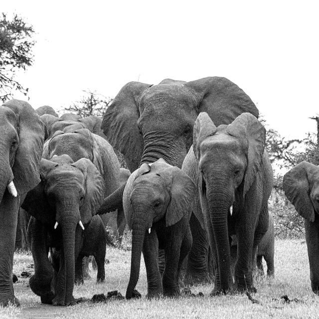 """""""Elephant Herd"""" stock image"""