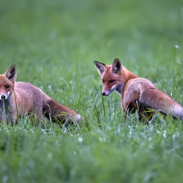 """Foxes in a clearing"" stock image"