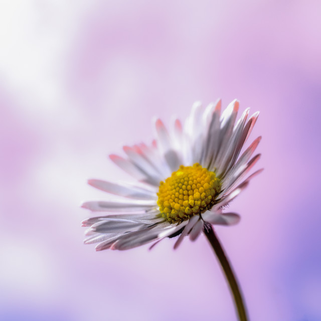 """Miss Daisy"" stock image"