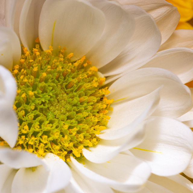 """Close-up photo of nice flower bloom with yellow center and white leaves"" stock image"