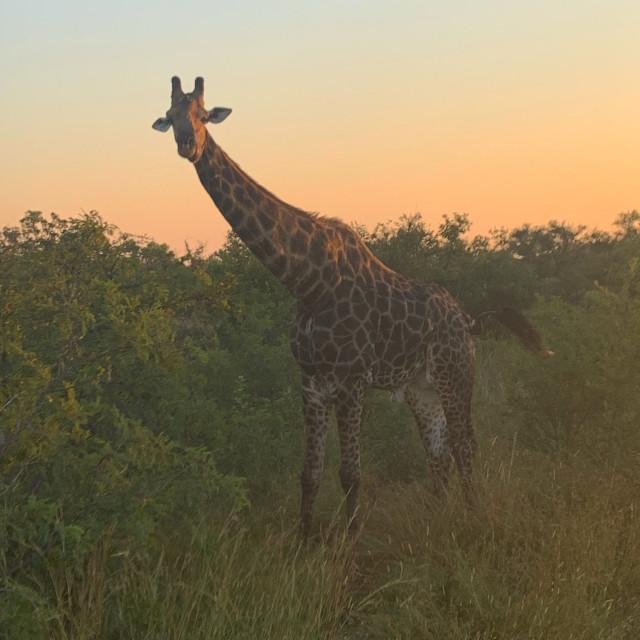 """Sunrise Giraffe on Safari"" stock image"