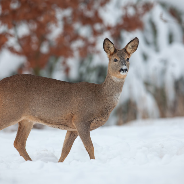 """Roe deer, capreolus capreolus, in deep snow in winter."" stock image"