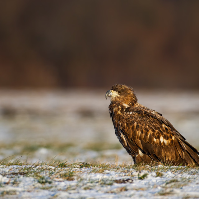 """Juvenile white-tailed eagle, haliaeetus albicilla, in winter sitting on a snow."" stock image"