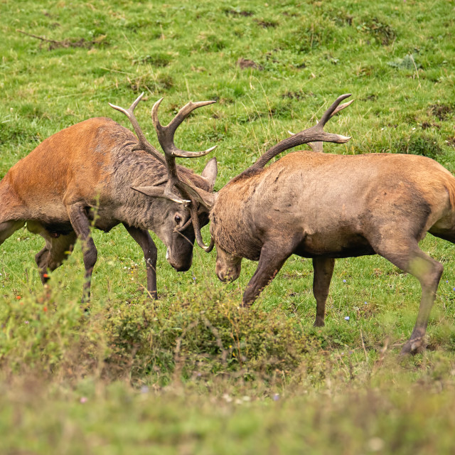 """Red deer, cervus elaphus, fight during the rut."" stock image"