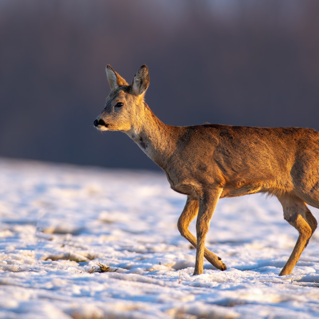"""Young roe deer in winter walking on snow."" stock image"