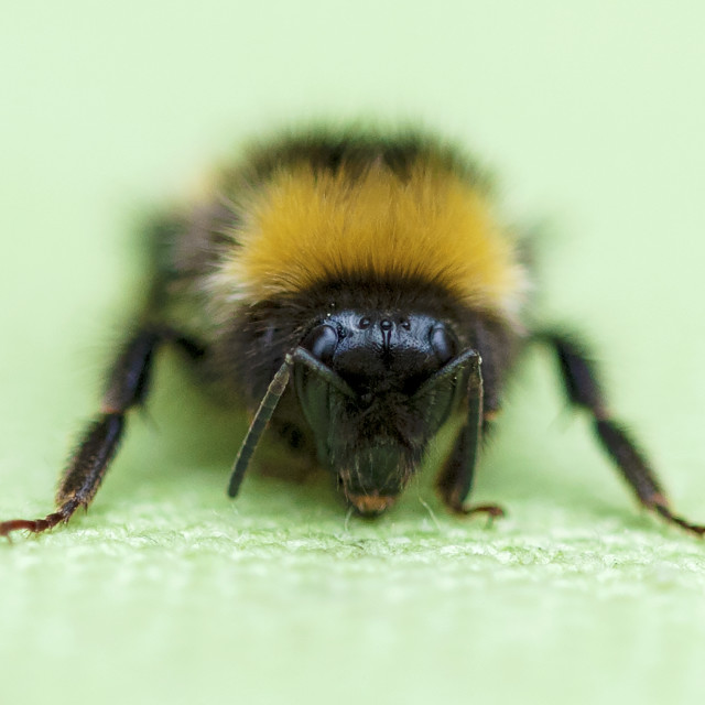 """Small bee"" stock image"