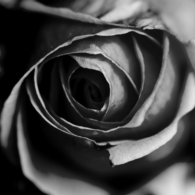 """Rose in black and white"" stock image"