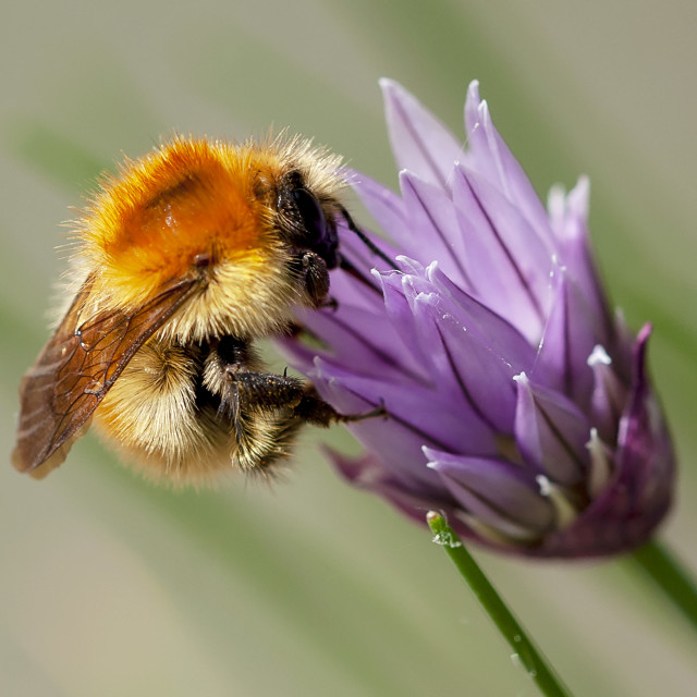 """Bee - Chive"" stock image"