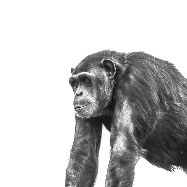 """Chimpanzee"" stock image"