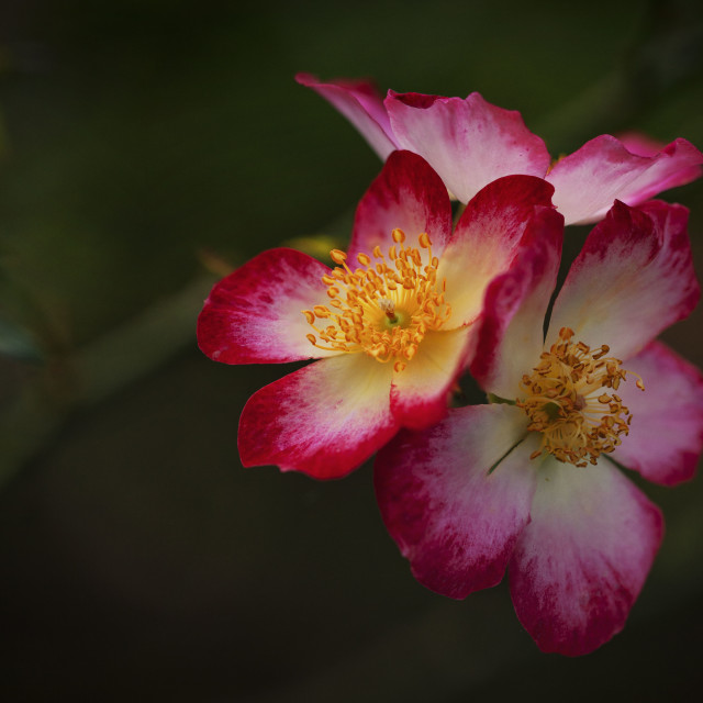 """Single Petal Roses"" stock image"