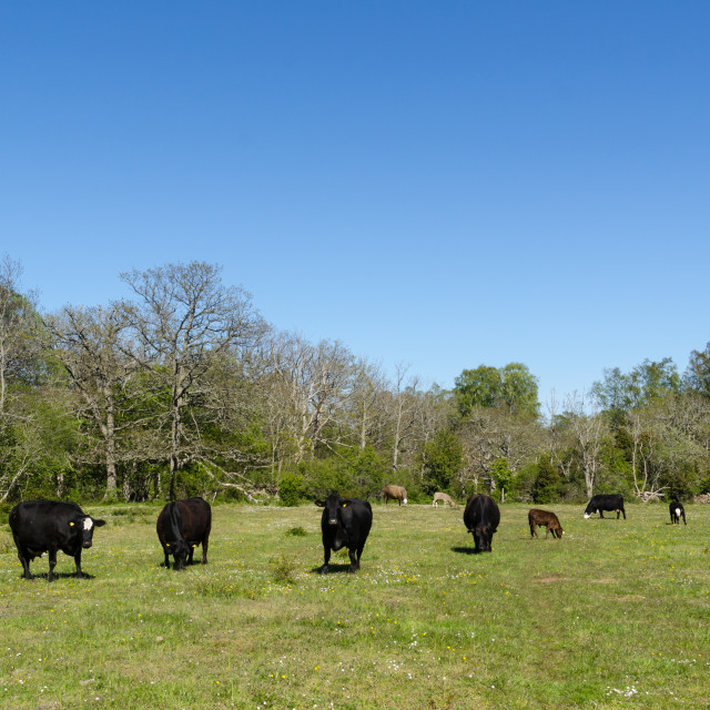 """Peaceful view with grazing cattle by springtime"" stock image"
