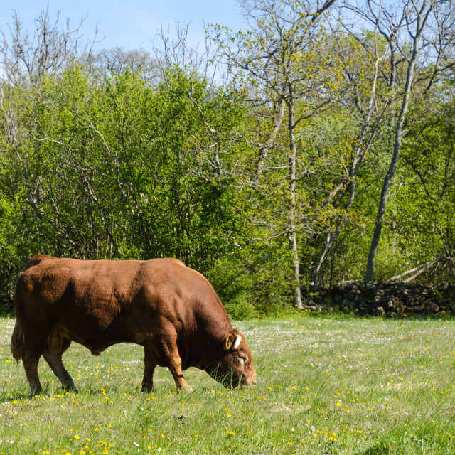 """Alone big bull grazing in a green landscape"" stock image"