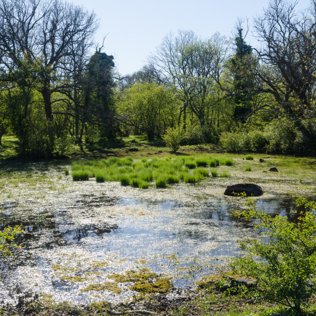 """Small wetland in a forest glade by springtime"" stock image"