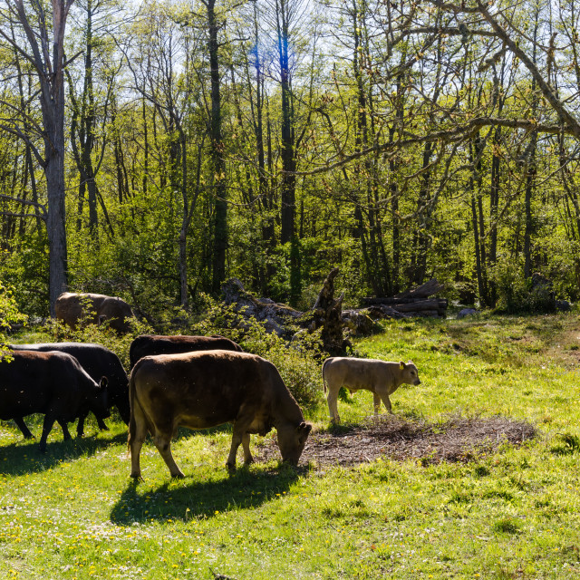 """Grazing cattle in a bright and green forest by spring season"" stock image"