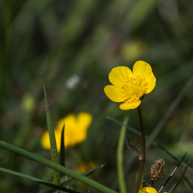 """""""Sunlit yellow buttercup flower close up"""" stock image"""