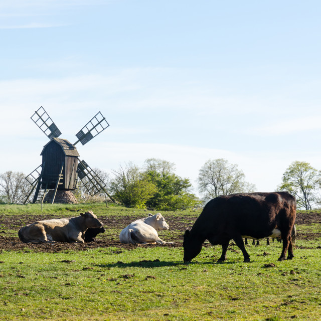 """""""Peaceful view with grazing cattle by an old windmill"""" stock image"""