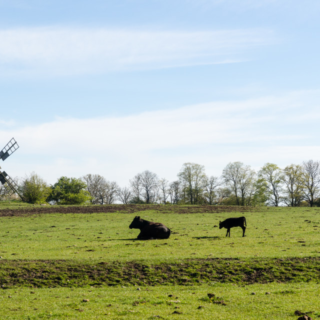 """""""Cow and calf in a green pastureland with an old traditional wind"""" stock image"""