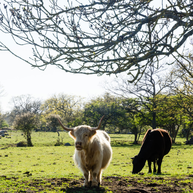 """""""Cattle in a green pastureland"""" stock image"""