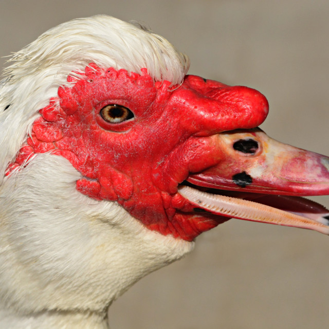 """""""Quack Muscovy Duck"""" stock image"""