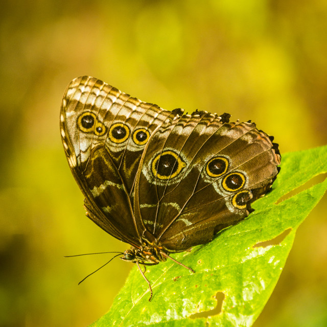 """Underwing of a blue morpho"" stock image"