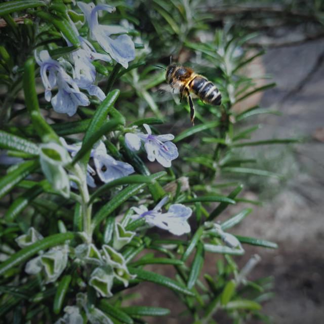 """Buzzin' around Rosemary"" stock image"