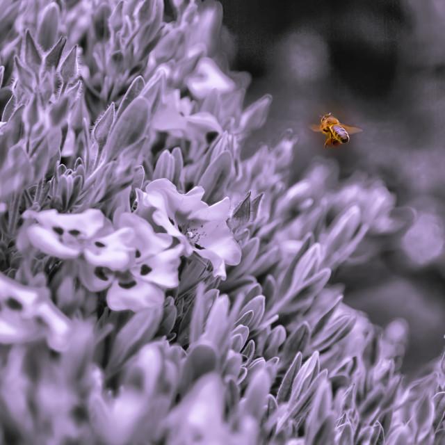 """A #honeybee taken in #North #Norfolk #summer2019"" stock image"