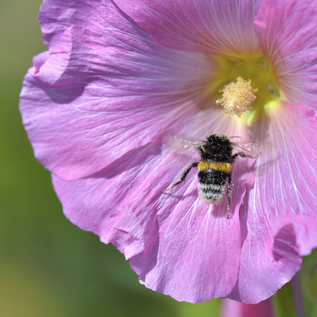 """""""close on bumblebee on pink flower on green background"""" stock image"""