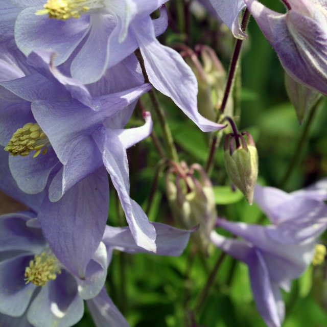"""blue and yellow columbine"" stock image"
