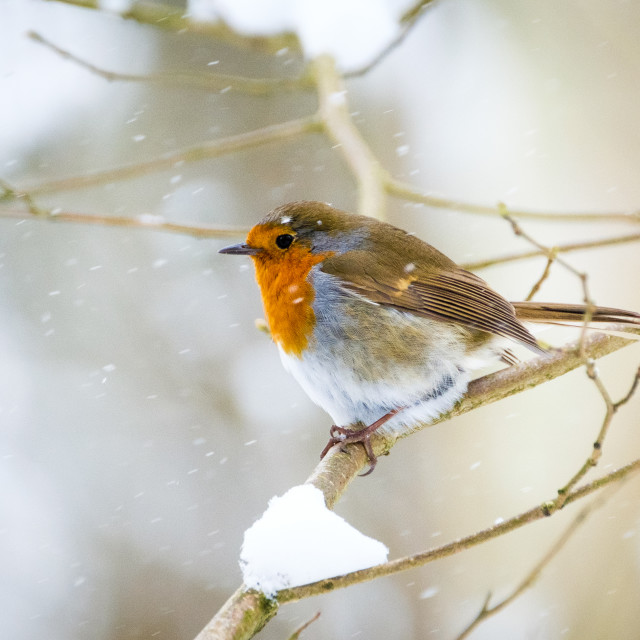 """A robin perched on a snow covered branch in a snow flurry."" stock image"