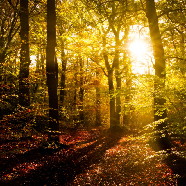 """Early sun shines through an Autumn woodland canopy"" stock image"