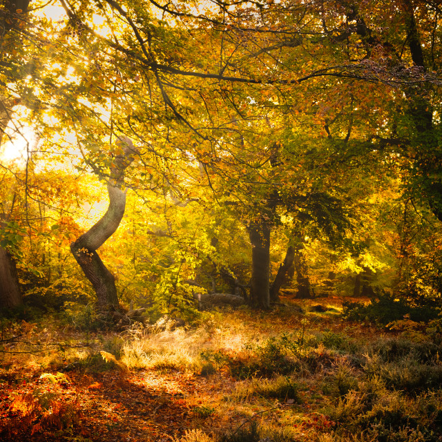 """Sun streams through trees in a woodland clearing."" stock image"